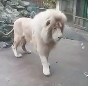 Lion Afraid Of Bubbles